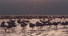 4K Lesser flamingos in silhouette against gold coloured water Stock Footage