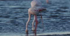 4K Close-up of greater flamingos feeding Stock Footage