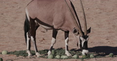 4K Gemsbok/Oryx feeding on wild tsamma melons, an important source of moisture Stock Footage