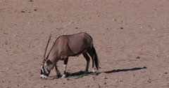 4K Gemsbok/Oryx feeding on wild tsamma melons, an important source of moisture - stock footage