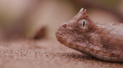 Slow motion Close-up side view of horned adder flicking its tongue Stock Footage