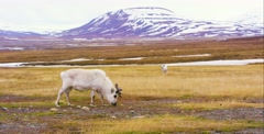 Reindeers in the arctic landscape of Svalbard Stock Footage