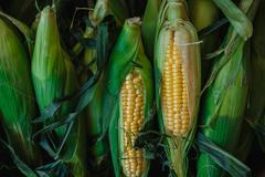 Corn on the cob in sheets Stock Photos