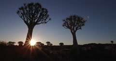 4K panning shot of sun rising behind quiver trees/kokerboom Stock Footage