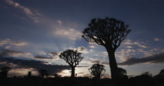 4K panning shot of quiver trees/kokerboom in silhouette against the dawn sky Stock Footage