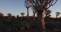 4K moving shot of quiver trees/kokerboom at sunset Stock Footage