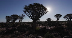 4K moving shot of quiver trees/kokerboom in silhouette with sun in the Stock Footage