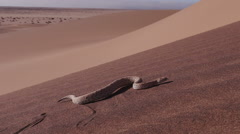 Slow motion shot of sidewinder/Peringuey's adder moving across the sand dune Stock Footage