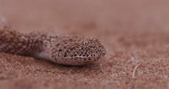 4K close-up of Sidewinder/Peringuey's adder flicking its tongue - stock footage