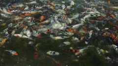 Much of fish in the pond - stock footage