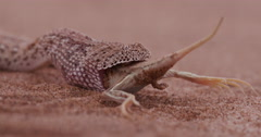 4K shot of sidewinder/Peringuey's adder eating a shovel snouted lizard Stock Footage