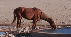 4K emaciated wild horse drinking at a waterhole Stock Footage