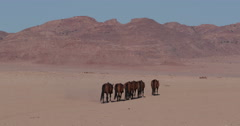 4K wide angle view of wild horses walking away from camera into the desert Stock Footage
