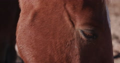 4K view of emaciated horse eating dung Stock Footage