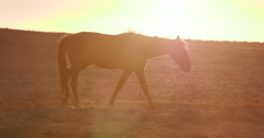 4K backlit shot of wild horses walking through desert landscape Stock Footage