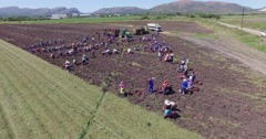 4K aerial view of farm workers picking sweet potatoes Stock Footage