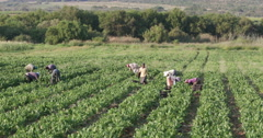 Panning shot of field with workers harvesting spinnach Stock Footage