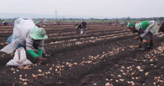 4K female farm workers planting onions by hand - stock footage
