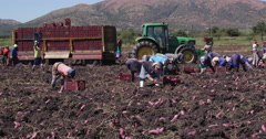 4K farm workers harvesting sweet potatoes/yams Stock Footage