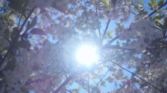 White cherry flowers on a background of the sun's rays.  Slow mo, slo mo Stock Footage
