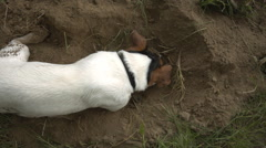 The dog sniffs the ground and digs a pit in the sand Stock Footage