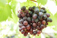 grape fruit in farmland - stock photo
