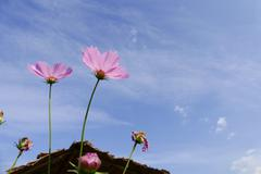 blooming cosmos flower meadow with sky background - stock photo