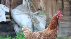 Hen cackles, strolling near the shed in search of food. Stock Footage