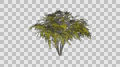 Japanese Angelica Tree Growth Animation Stock Footage