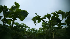 Potato Field with Green Shoots of Potatoes. Young Potato Plants Stock Footage