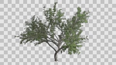 Hook Thorn Flowers Tree Growth Animation Stock Footage