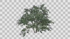 Kousa Dogwood Flowers Tree Growth Animation Stock Footage