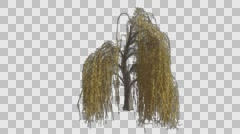 Weeping Willow Tree Growth Animation - stock footage