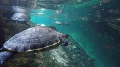 Turtle swimming in a freshwater cenote in Mexico Stock Footage