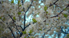 The camera moves near the white flowers of the cherry tree against the blue sky Stock Footage
