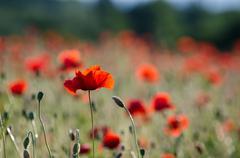 One poppy in focus - stock photo