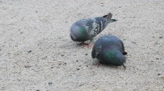 Pigeons peck of sunflower seeds. - stock footage