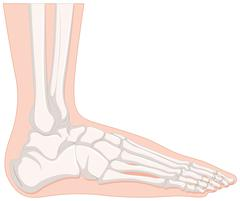 X-ray human foot bone Stock Illustration