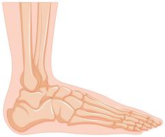 Inside of human foot bone Stock Illustration
