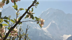 Apple Kailash Snow Peak Holly Stock Footage