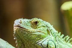 Green Iguana Reptile Portrait On Tree Branch Stock Photos