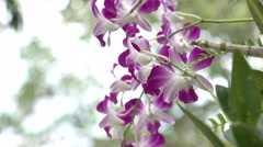 Cattleya orchid Stock Footage