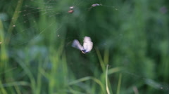 The spider has caught a butterfly and kills her. Stock Footage
