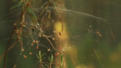 Spider webs on pine trees covered in dew during a summer sunrise Stock Footage
