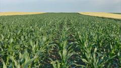 Corn plant in field Stock Footage