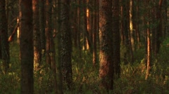 Deep Forest at dawn Stock Footage