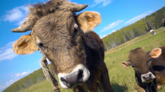 Bull and cow is on the meadow and looking at the camera. Slow mo, slo mo Stock Footage