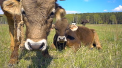 Bull and cow is on the meadow, wagging tail and ears, looking at the camera Stock Footage