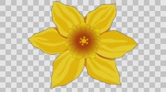 Flower yellow Narcissus 3.  Frame rate 25 Stock Footage