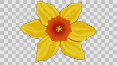 Flower yellow red Narcissus 3. Frame rate 30. Stock Footage